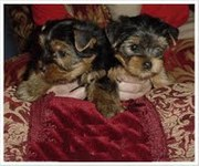 top quality yorkie puppies for free adoption