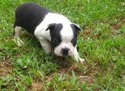 Black & White Boston Terrier Puppies for sale