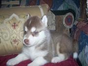 Lovely Siberian husky baby for free adoption
