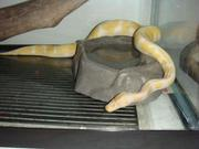albino and piebald pythons ready to go